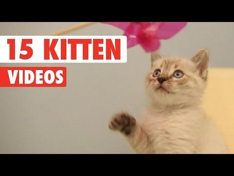 15 Cute Kittens Video Pet Compilation 2016 - UCPIvT-zcQl2H0vabdXJGcpg