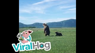Cubs Copy Mother Bear || ViralHog