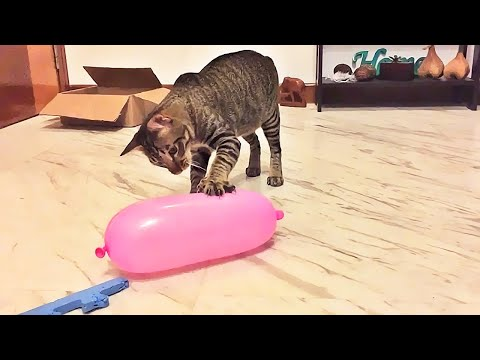 Cat Reaction to Playing Balloon - Funny Cat Balloon Reaction Compilation - UC24KUWwW8-rJu3GZKLPYvcw