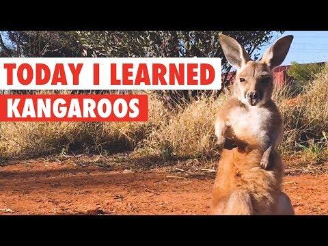 Today I Learned: Kangaroos - UCPIvT-zcQl2H0vabdXJGcpg