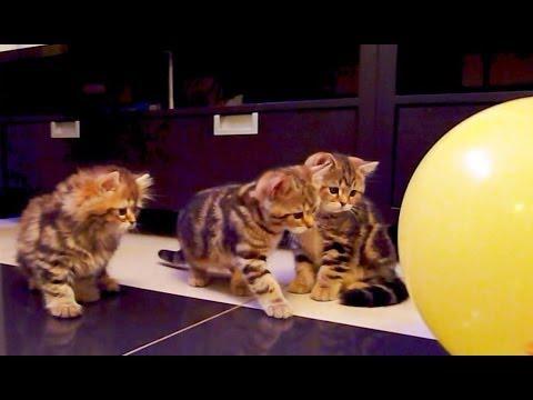 Cute Kittens  ,  Balloon   and  .... BANG - UCERQZLRMniqsMlgBxme32cQ