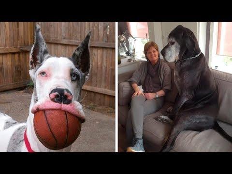 10 Razas De Perros Gigantes Que Son Únicas En El Mundo