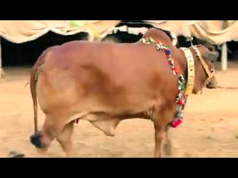 Billu Pehlwan By Al Rehman Cattle