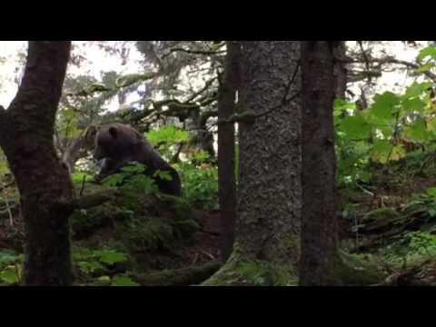 Kodiak bear on Afognak Island, Alaska