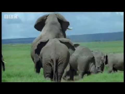 elephant mating video clip