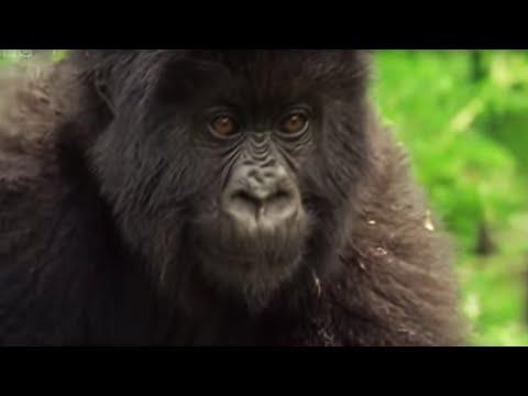 Family of Mountain Gorillas | Cousins | BBC - UCwmZiChSryoWQCZMIQezgTg