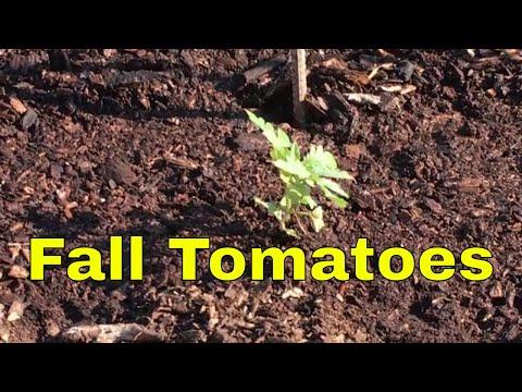FALL GARDENING SERIES~Tomato Plants