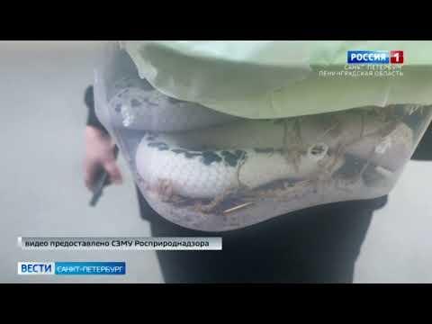 Сотрудники Росприроднадзора пресекли незаконную продажу очень ядовитой змеи - сиамской кобры