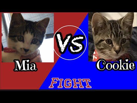 Funny Kittens Fighting (Mia vs Cookie) - UCwtV2z8MhxPOev7SHez-S0g
