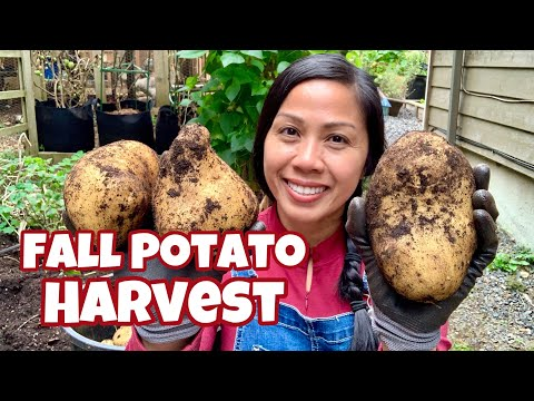 Fall Potato Harvest - Growing Potatoes / PNW