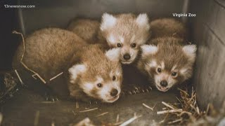 Virginia Zoo's Red Panda naming auction closed