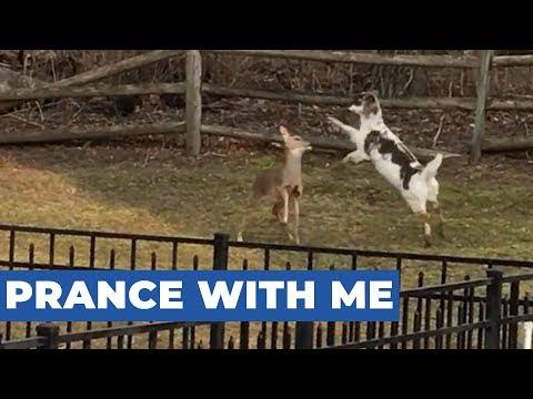 Deer Prances Around on Rear Hooves