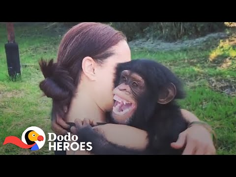 When You Just Can't Stop Rescuing Chimpanzees   The Dodo Heroes