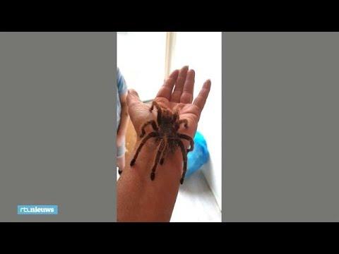 Dierenambulance pikt loslopende vogelspin op uit winkelstraat - RTL NIEUWS