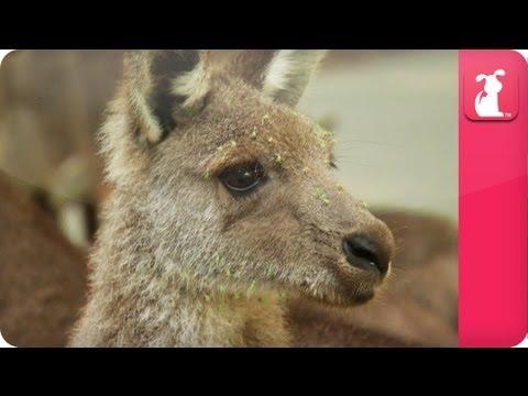 Bindi & Robert Irwin feature - Kangaroos (Amy) - Growing Up Wild. - UCPIvT-zcQl2H0vabdXJGcpg