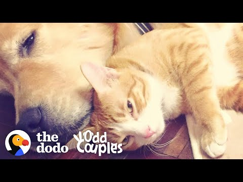 Dog's Loved His Kitten Since The Moment They Met    The Dodo Odd Couples
