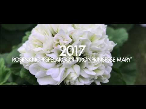 Årets Pelargon 2017 på Nordiska Trädgårdar