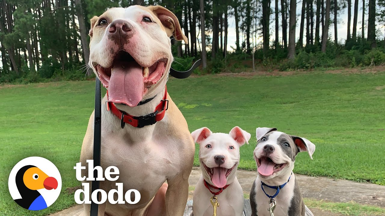 65-Pound Pit Bull Is The 'Fun Uncle' For Tiny Foster Puppies   The Dodo Pittie Nation