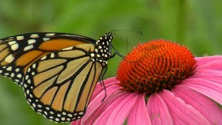 Three Rivers Park District Tags Monarch Butterflies