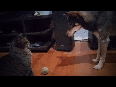 Funny Cats and Dogs 🐱🐶 Cute Cats Annoy Funny Dogs (Full) [Funny Pets] - UCeZe0VwwhEf8KTI2FHfJtTg