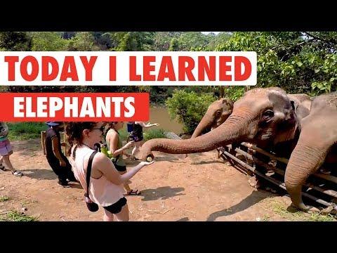 Today I Learned: Elephants - UCPIvT-zcQl2H0vabdXJGcpg