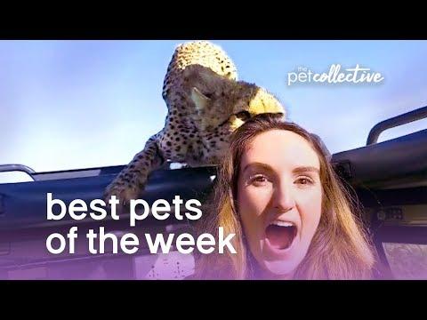 Best Pets of the Week - Safari Close Encounter!!   The Pet Collective - UCPIvT-zcQl2H0vabdXJGcpg