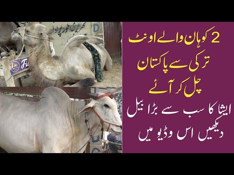 jtemai Qurbani 2021 | JDC Camel Qurbani
