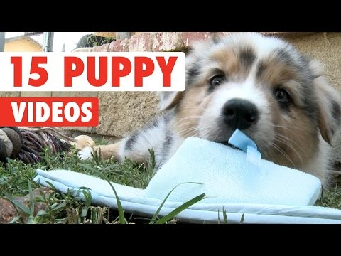 15 Funny Puppies Video Compilation 2016 - UCPIvT-zcQl2H0vabdXJGcpg
