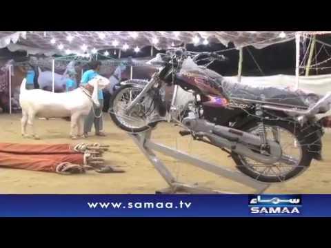 Sultan Bakra In Karachi Bakra Mandi