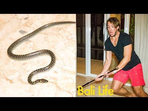 Bali Home Snake Invasion - UCd5xLBi_QU6w7RGm5TTznyQ