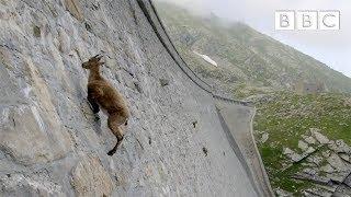 Des chèvres de montagne défiant la gravité