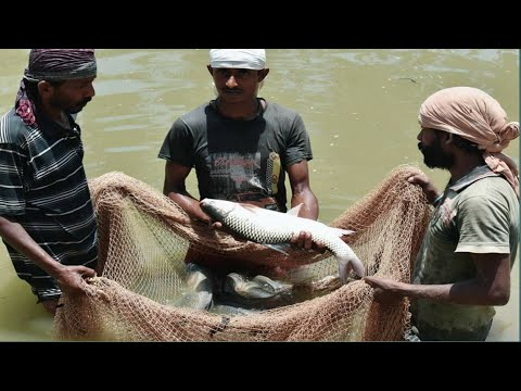 BEST DRAG NET FISHING IN POND || HOW TO USE DRAG NET IN FISHING || CATCHING FISH WITH DRAG NET
