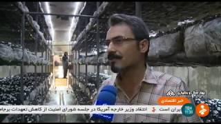 Iran Button mushroom harvest, Herbal plants packaging, Saman county قارچ دكمه اي و گياهان دارويي
