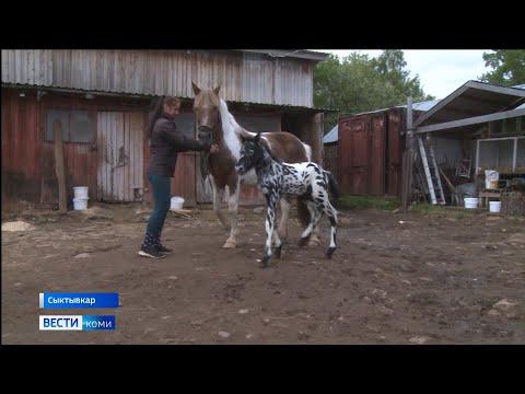В сыктывкарском конном центре родился жеребенок чубарой масти