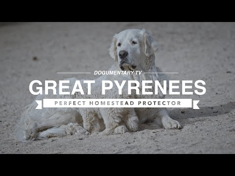 GREAT PYRENEES: PERFECT HOMESTEAD PROTECTOR