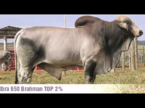 Touro Brahman - Libra 650 TOP 2% ANCP