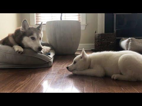 Nova the Husky Puppy Wants to Share a Bed with Laika