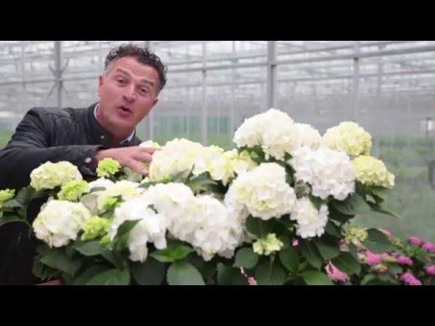 Forever&Ever verkleuren van de witte hortensia
