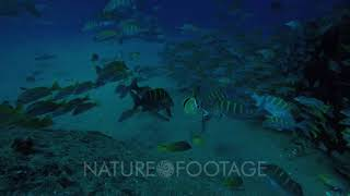 Yellow snapper (Lutjanus argentiventris), forming a school in a shipwreck, reefs of Sea of Cortez...