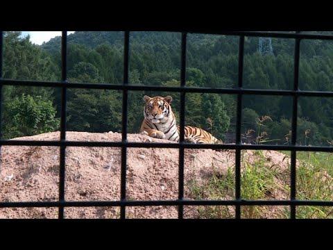 صياد سابق ينذر نفسه لحماية آخر النمور السيبيرية في الصين