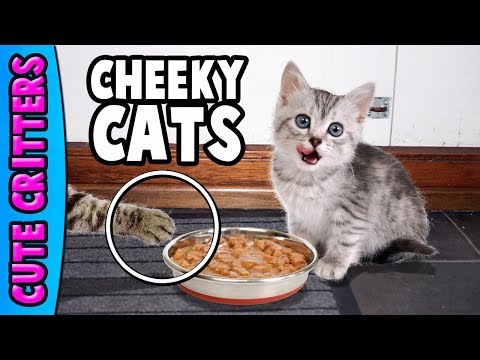 Cheeky Cats Compilation | Hilarious Cute Kittens - Funny Moments | Best New 2017 Collection - UCUzQao9vCOmYQzRfjhMdX3w