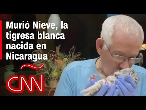 ¡Adiós Nieve!, muere la pequeña tigresa blanca nacida en Nicaragua