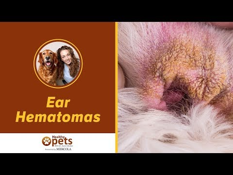 What You Need to Know About Ear Hematomas in Your Pet