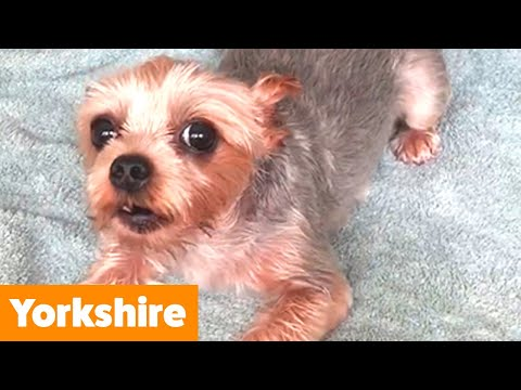 Cutest Yorkshire Terriers | Funny Pet Videos