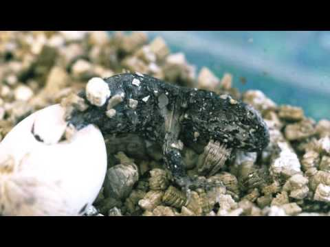 Tuatara emerging from egg at Chester Zoo - Unique HD footage