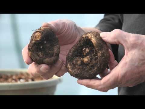 Hobson's Garden Episode 4- Planting begonias