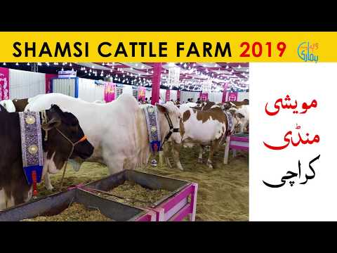 Shamsi Cattle Farm Collection 2019 - Sohrab Goth Maweshi Mandi 2019