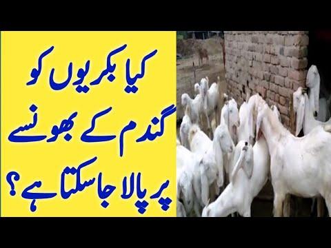 Goat Food | Goat Dry Feed Formula | Best Food For Goats | Urdu Hindi