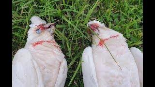 Birds Falling From Sky, Bleeding At Eyes & Beaks—Signs of the Last Days®