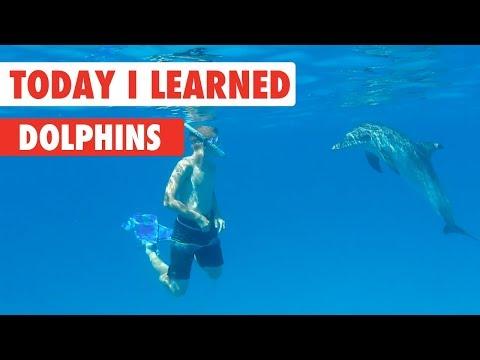 Today I Learned: Dolphins - UCPIvT-zcQl2H0vabdXJGcpg